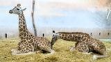 Žirafí sameček dostal jméno Matyáš