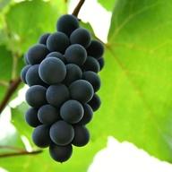 Karlštejnského vinobraní - Karlštejn