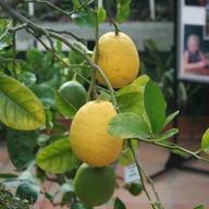 Výstava citrusů a jiných užitkových rostlin