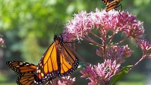 Motýlí cestovatelé - Botanická zahrada Praha Troja