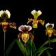 Tradiční výstava orchidejí