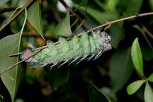 Motýl s největší plochou křídel na světě Attacus atlas bude opět k vidění ve skleníku Fata Morgana