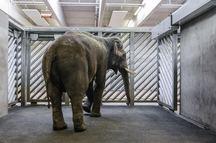 Do Prahy přicestoval sloní býk