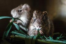 Pražská Zoo založila chov řekomyší v Kamerunu