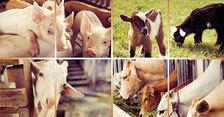 Národní výstava hospodářských zvířat