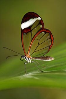 Trojská botanická zahrada zahájila výstavu tropických motýlů  Motýlí skvosty Ameriky poletují skleníkem Fata Morgana