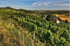 Vinaři českého středohoří pro vás otevřou své sklepy 31. srpna!