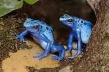 Unikátní výstava Šípové žáby v Zoo Praha